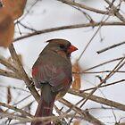 Female Cardinal Jan.19, 2011 by mltrue