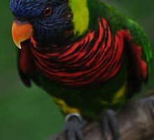 Lorikeet on a branch by 1busymom