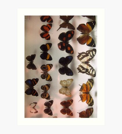 Butterfly collection insect exhibit display Art Print