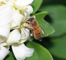 A Honey Bee Gathering Pollen from Mock Orange Flowers by STHogan