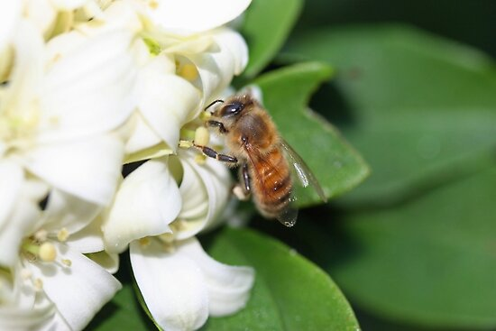 Quot A Honey Bee Gathering Pollen From Mock Orange Flowers
