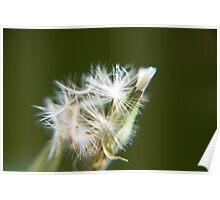 Messy dandelion Poster