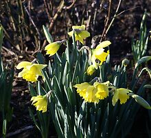 The January Daffodils by Loisb