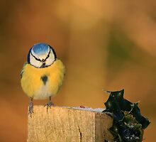 Blue Tit and Holly by Linda Lyon