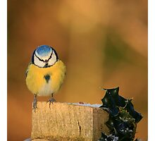 Blue Tit and Holly Photographic Print