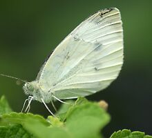Cabbage White by crystalseye