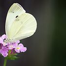Cabbage White on Latana by crystalseye