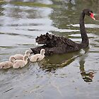 Black swan with her baby cygnets by Anna Calvert