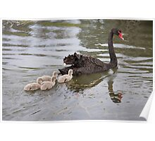 Black swan with her baby cygnets Poster