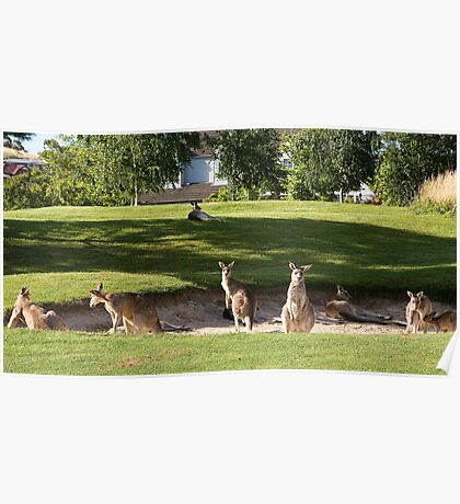 Kangaroos on the golf course Poster
