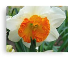 Daffodil Glory Canvas Print