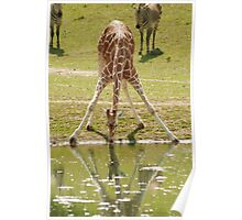 """""""Everybody's Got Challenges"""" - Giraffe struggles for a drink Poster"""