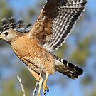 Red shouldered hawk starting flight! by jozi1