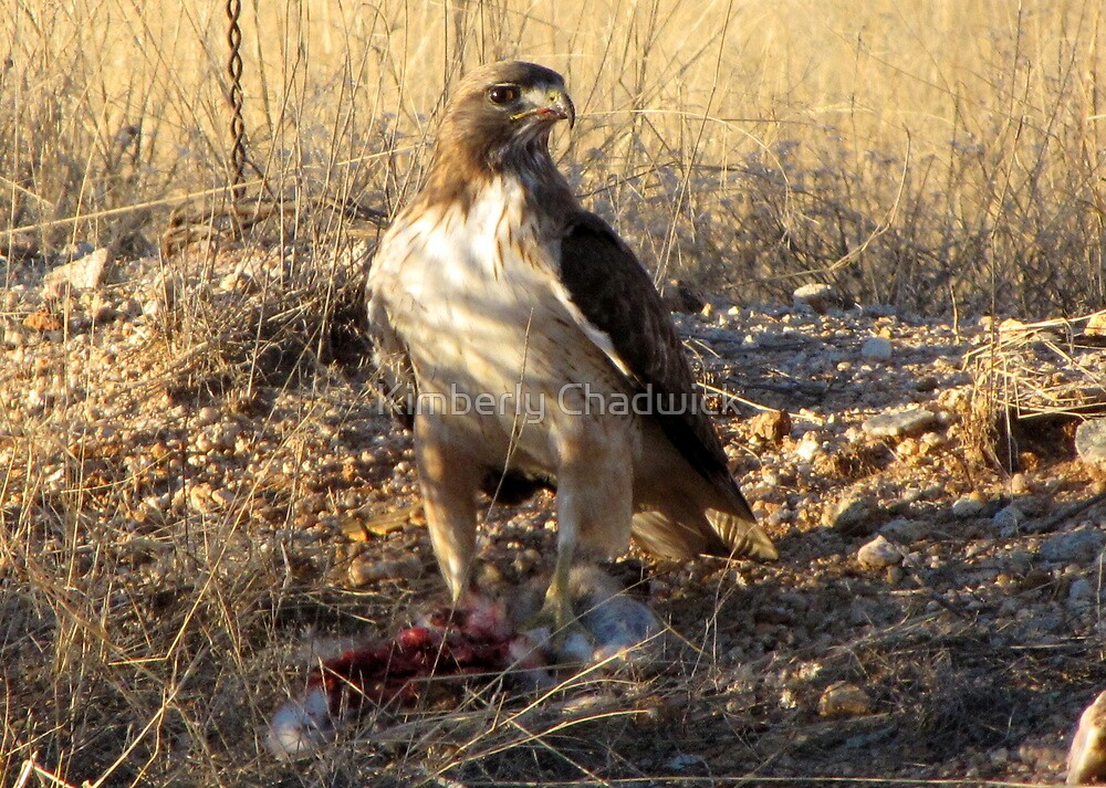 Red-tailed Hawk ~ Dinner for One by Kimberly Chadwick