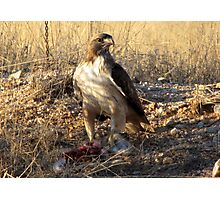 Red-tailed Hawk ~ Dinner for One Photographic Print