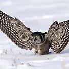 Wings Wide Open / Northern Hawk Owl by Gary Fairhead