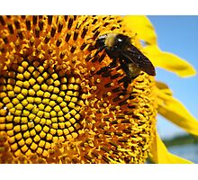 Bumble Bee on a Sunflower Photographic Print