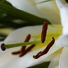White Lilly by Helen Shippey