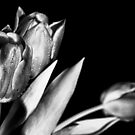 Silver Tulips by Francesco Malpensi