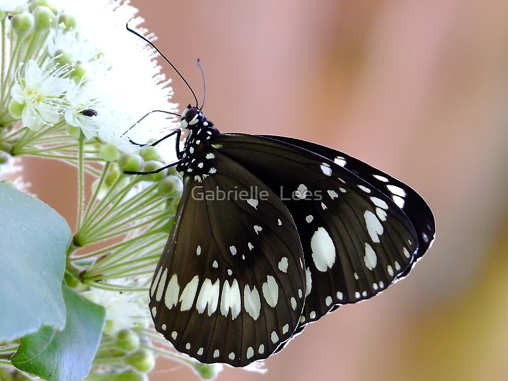Common Indian Crow Butterfly by Gabrielle  Lees