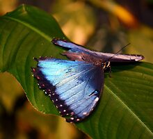 Wings of Blue by suz01