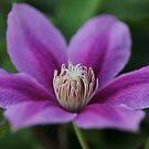 purple climatis by ANNABEL   S. ALENTON