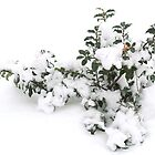 Winter Holly by BarbL