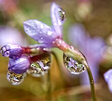 Reflection of a wild flower. by barnsis