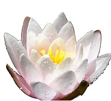 Shining Water Lily Photographic Print