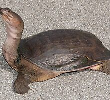 Tiny Cantors Giant Softshell Turtle by cute-wildlife
