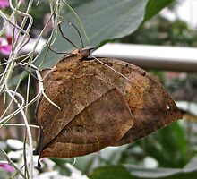 Indian Leafwing by John Thurgood