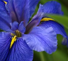 Blue Iris by crystalseye