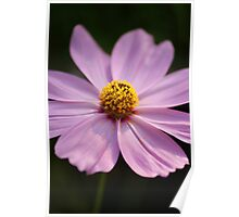 Pink Cosmos Poster
