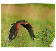 Harris's Hawk in flight Poster
