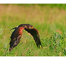 Harris's Hawk in flight Photographic Print