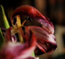 dying tulips  by Jeff Stroud