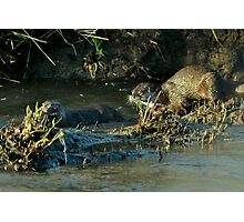 Two beautiful otters Photographic Print