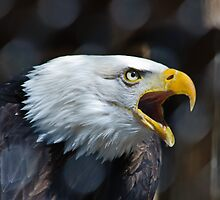 Screaming Bald Eagle by Cycroft