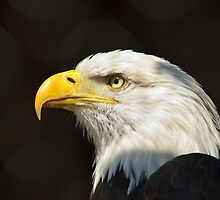Bald Eagle by Cycroft