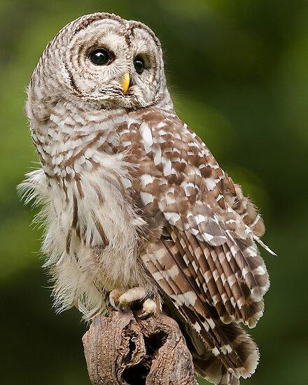 Barred Owl by Cycroft