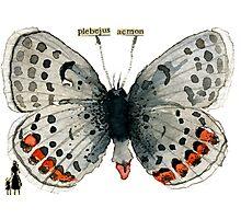 Plebejus Acmon (Acmon Blue Butterfly) Photographic Print