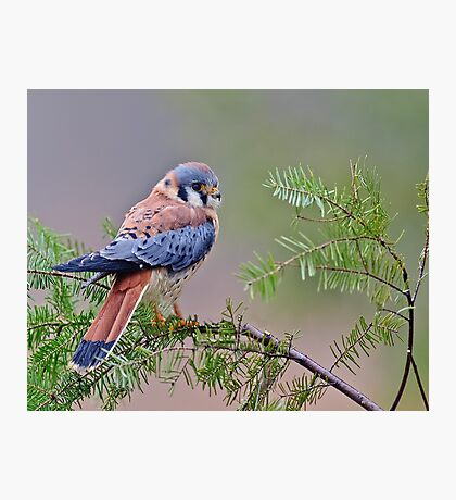 American Kestrel Photographic Print