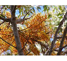 'LOT'S OF MARCHING SOLDIERS!' Grevillea Robusta. Photographic Print