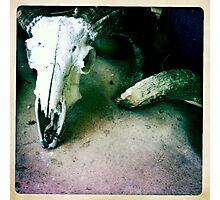 Rams Skull Photographic Print