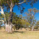 Eucalyptus trees, Flinders Ranges NP, South Australia.n by johnrf