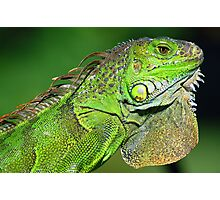 Regal Iguana Photographic Print