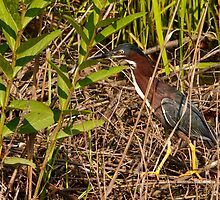 Green Heron by Joe Elliott