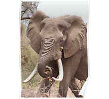 "THE AFRICAN ELEPHANT - TUSKERS-""THE KRUGER NAT, PARK"" Poster"