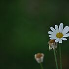 Daisy in green by petejsmith