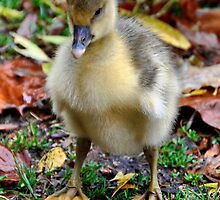 Baby Gosling by Steven  Agius